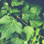 Örökzöld cserjék