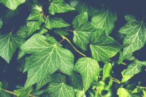 Az örökzöld cserjék mindig élénk színben pompáznak